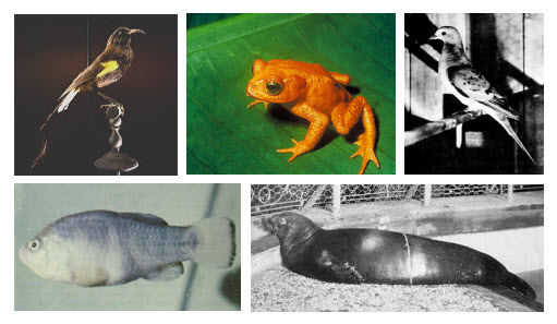 hawaii oo, golden toad, passenger pigeon, tecopa pupfish, caribbean monk seal