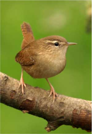 Bewick's Wren sitting on branch